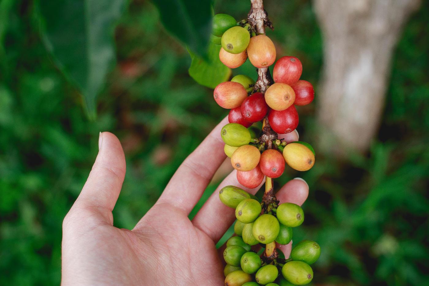 planta de café origen del café